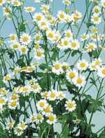 single feverfew plant
